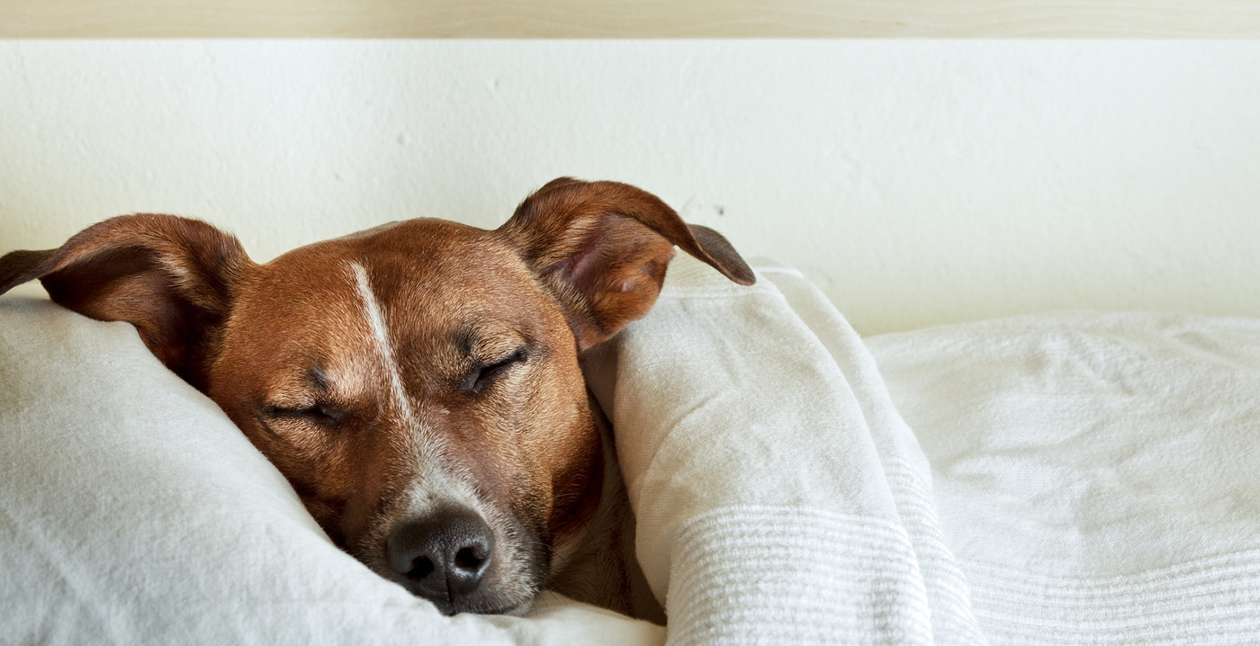 Jack Russell Terrier asleep under white sheets with head on pillow.